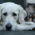 Cómo se puede tratar el miedo de los perros a los ruidos
