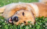 Remedio de Flores de Bach nº 104 Epilepsia en perros